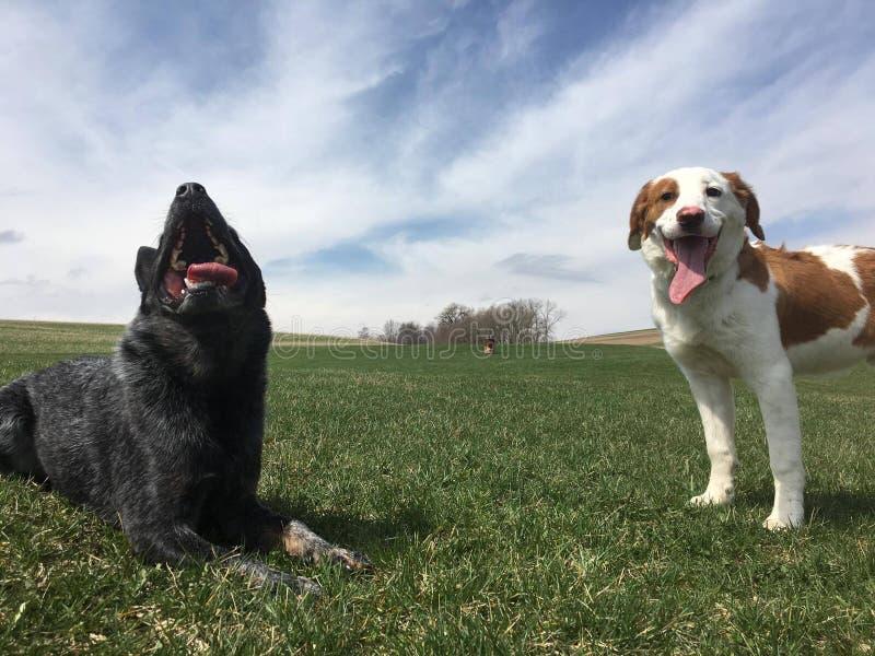 Heeler azul persegue o cão australiano do gado fotografia de stock