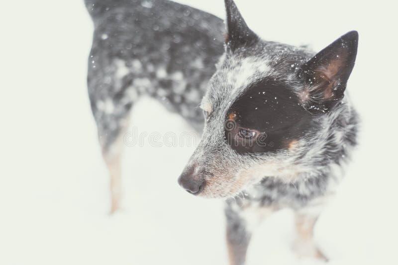 Heeler bleu dans la neige images libres de droits