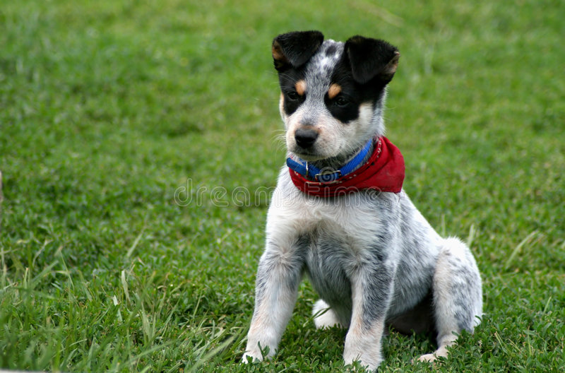 Heeler Pup 11. 8 week old Blue Heeler puppy dog royalty free stock photo