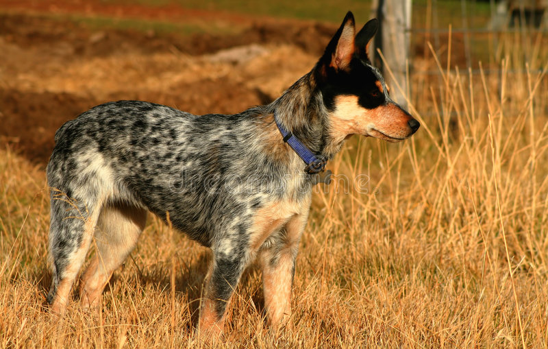 Heeler Pup 20. 5 month old female Blue Heeler Pup stock photos