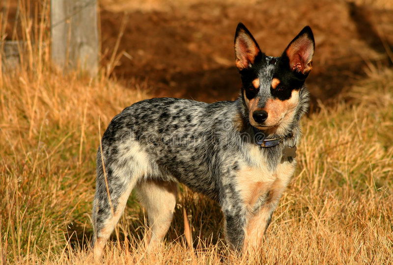 Heeler Pup 25. 5 month old Blue Heeler Pup in the field stock photography