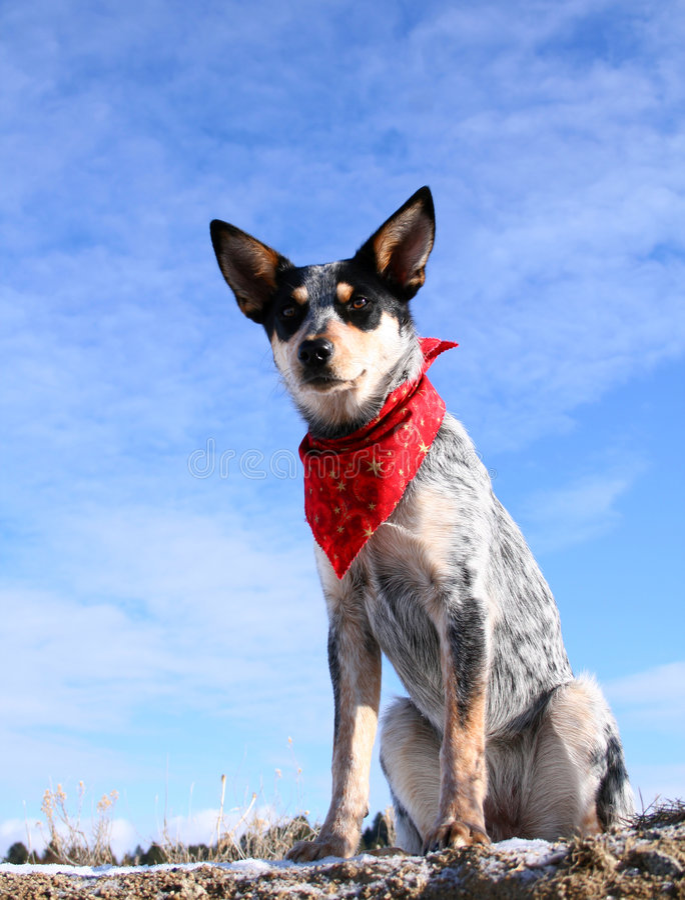 Heeler Pup 31 royalty free stock photo