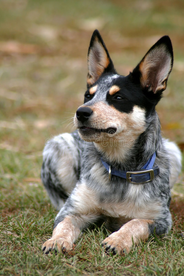 Heeler Pup. 4 month old female Blue Heeler pup royalty free stock photos