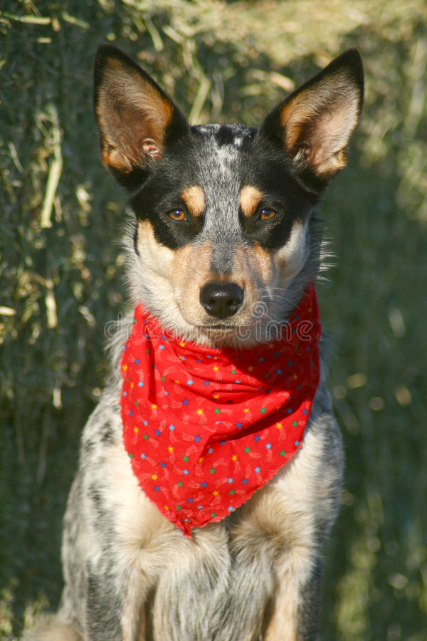 Heeler Pup 39. Blue Heeler puppy sporting a red bandana on hay bales royalty free stock photo