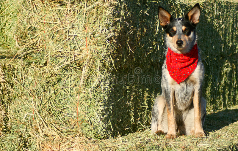 Heeler Pup 40. Blue Heeler puppy sporting a red bandana on hay bales stock photo