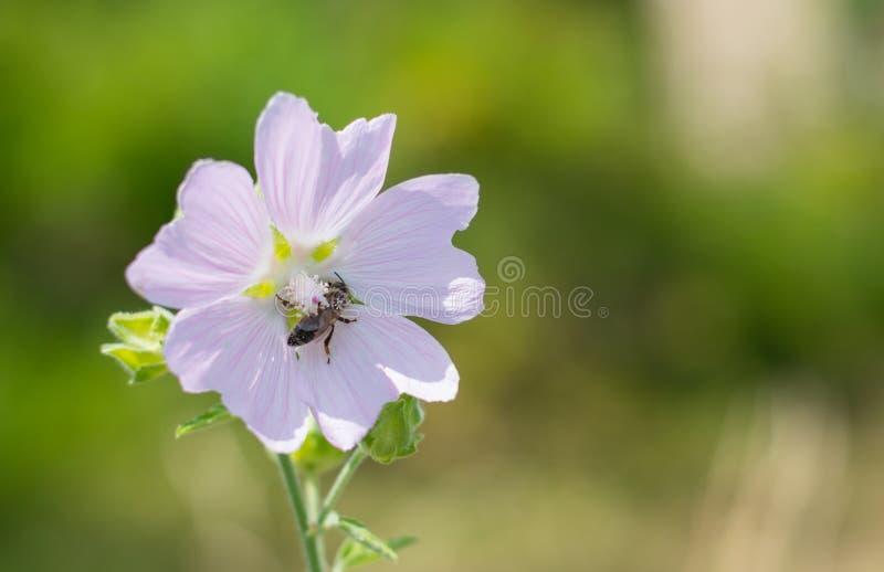Heemst & x28; Althaea officinalis& x29; royalty-vrije stock fotografie
