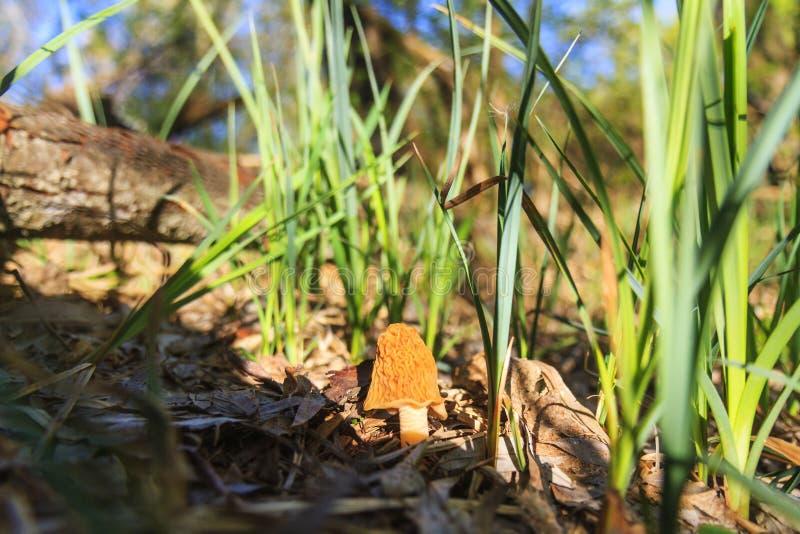 Heerlijke paddestoel onder het de lentegras stock foto's
