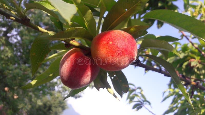 Heerlijke perzik stock foto