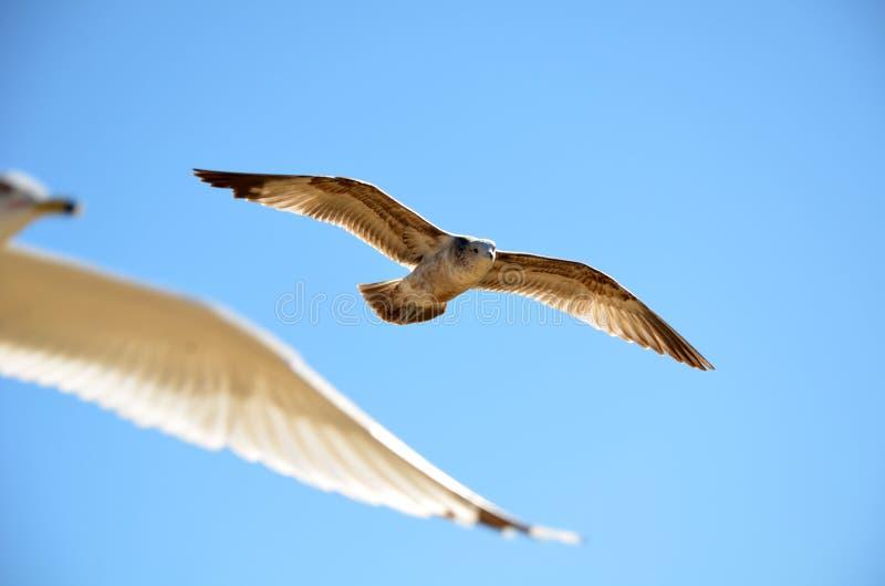 Heermann的鸥在与其他海鸥的天空飞行 免版税图库摄影