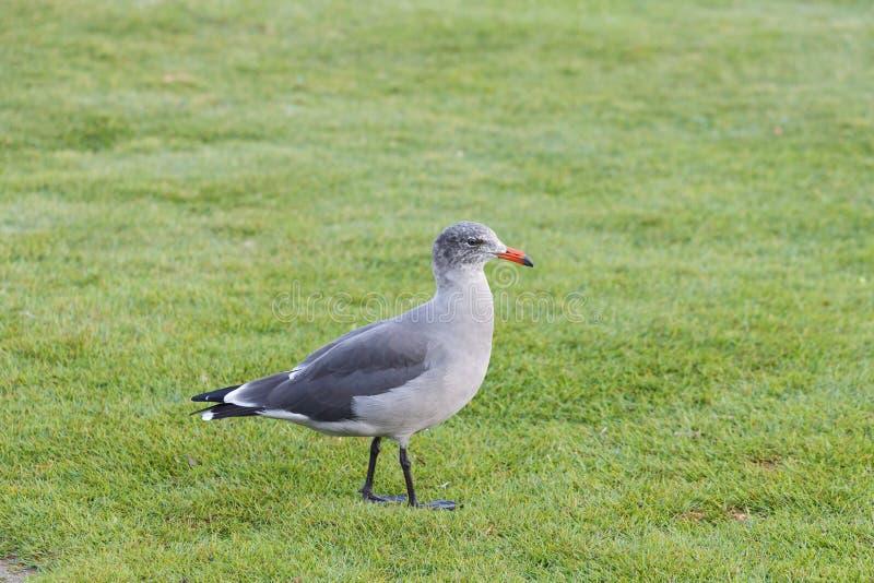 Heermann frajera ptak zdjęcie royalty free
