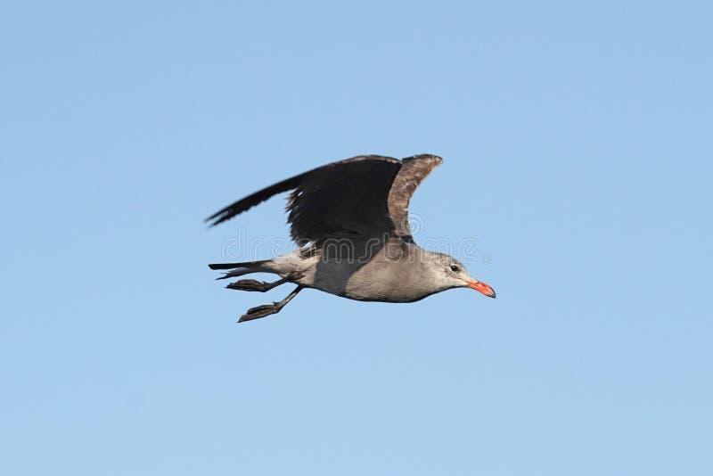 Download Heermanns鸥(鸥属heermanni)由海洋 库存照片. 图片 包括有 双翼飞机, 海岸, 海洋 - 62525750