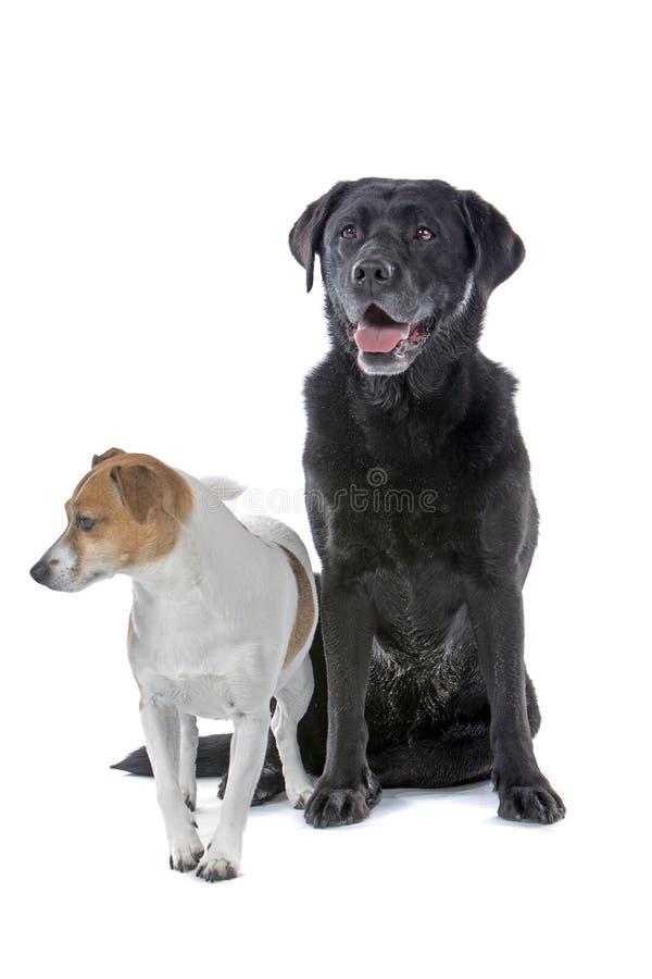 Hefboom Russell en Labrador stock afbeeldingen