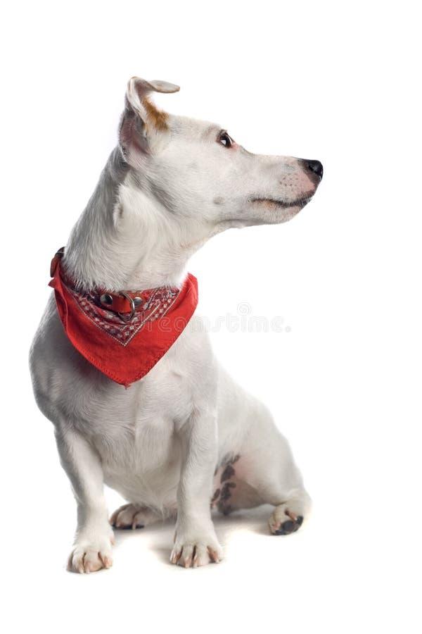 Hefboom Russell Terrier stock foto