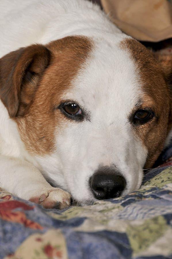 Hefboom Russell Terrier royalty-vrije stock foto