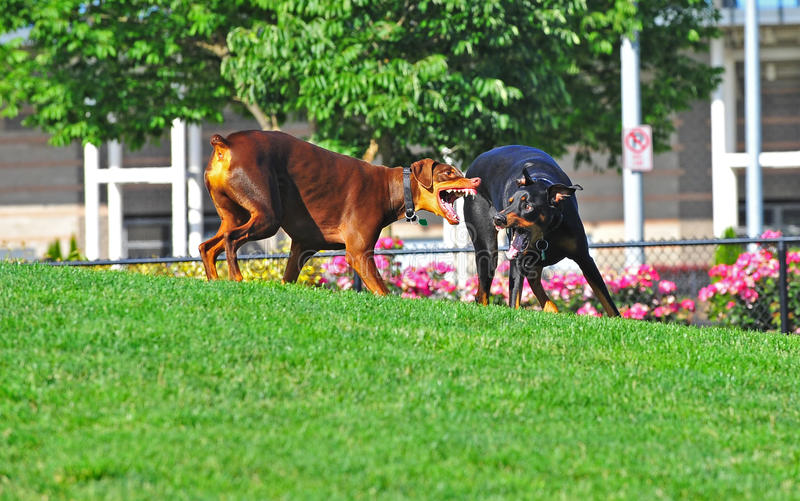 Heftige Hunde am Spiel stockfotografie