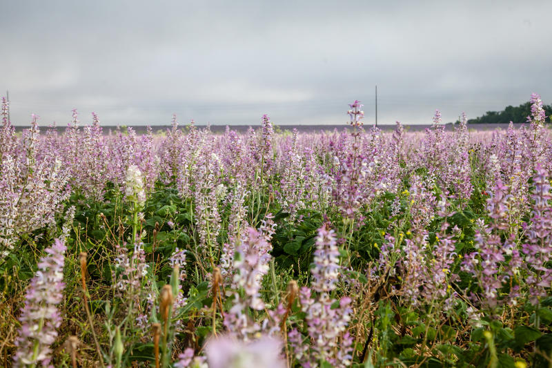 Heide blüht Hintergrund lizenzfreie stockfotos
