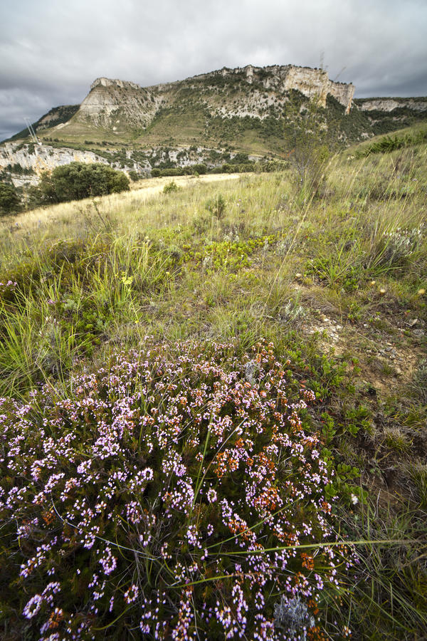 Heide in bloei royalty-vrije stock afbeelding