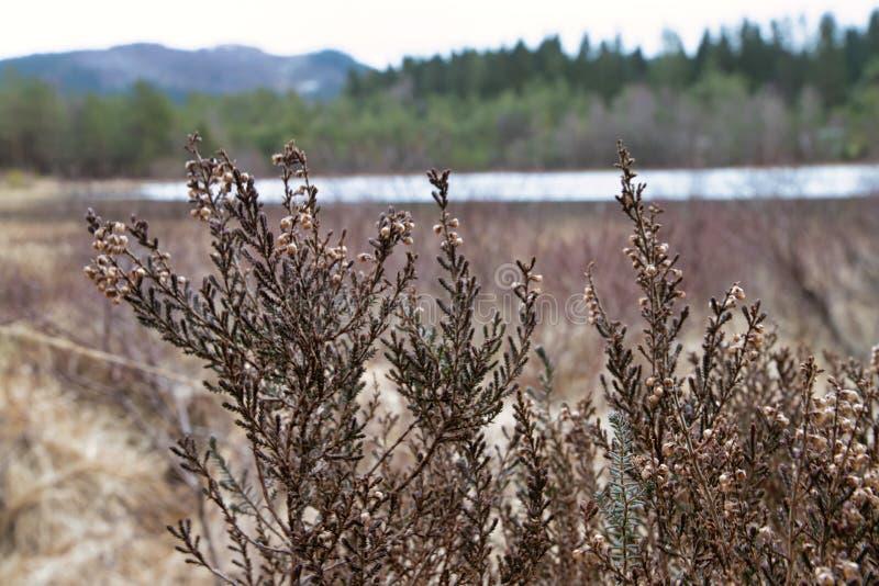 Heide, die in den Sumpfgebieten in Norwegen wächst lizenzfreie stockfotos