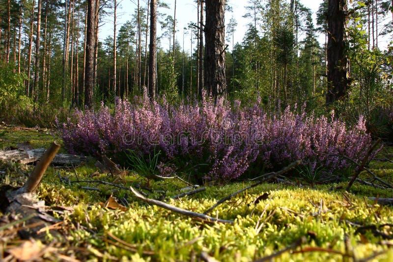 Heide im Kiefernwald lizenzfreies stockbild