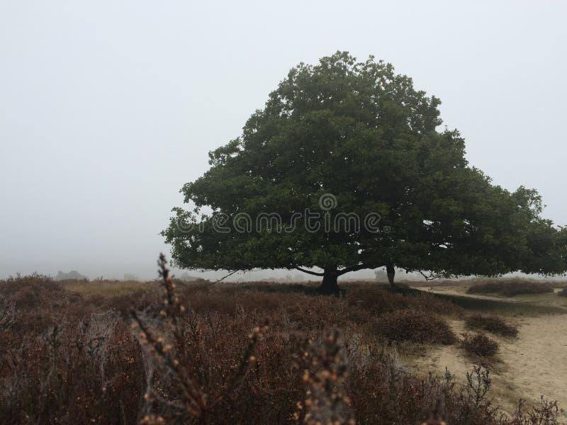 Heide und Eiche im Nebel lizenzfreies stockfoto