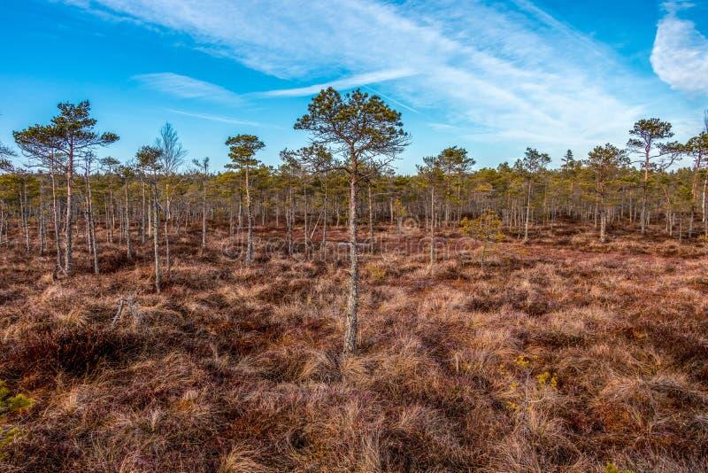 Heide van het Kemeri de Grote moeras bij zonnige de winterdag met blauwe hemel, Letland, Noordelijk Europa royalty-vrije stock foto