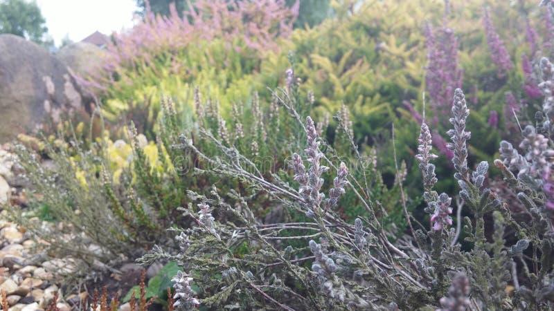 Heidebed stock foto