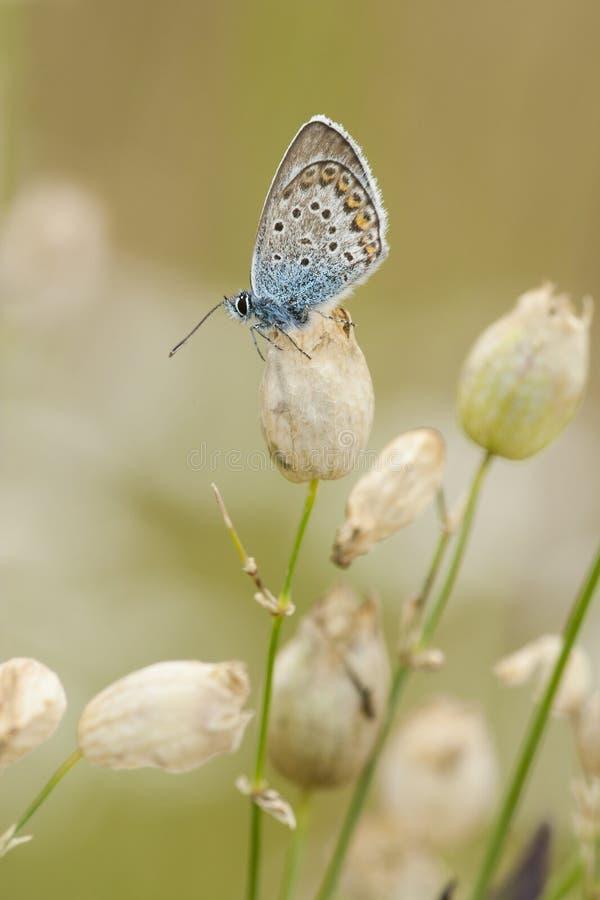 Heideblauwtje, Silber-verziertes Blau, Plebejus Argus stockfotografie