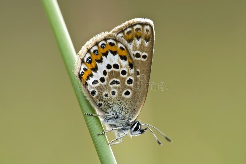 Heideblauwtje, Silver-studded Blue, Plebejus argus royalty free stock image