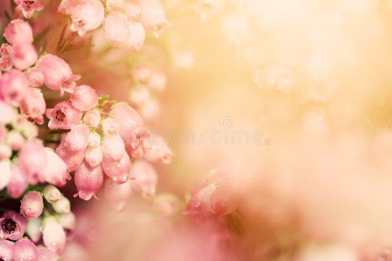 Heidebloemen op een daling, de herfstweide in glanzende settng zon royalty-vrije stock foto