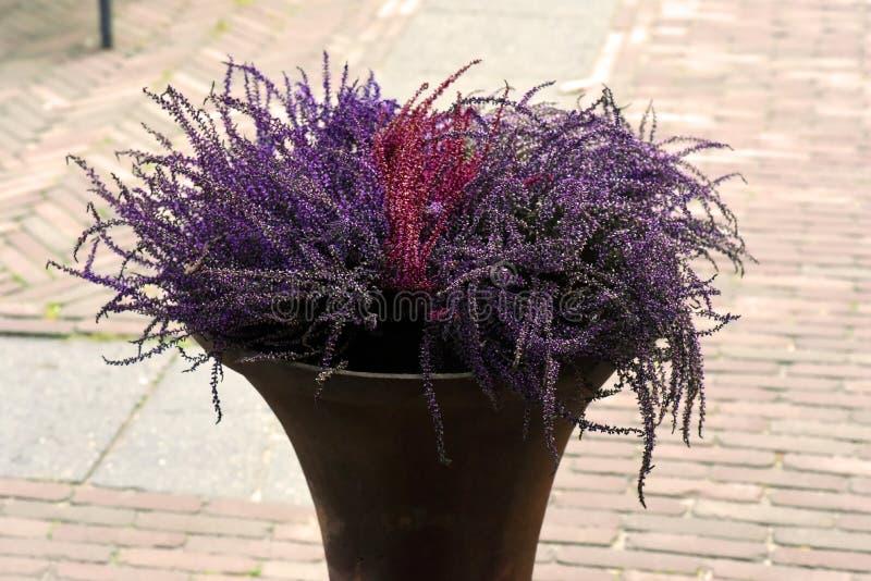 Heideinstallatie in de pot van metaalplanteror werkelijk aardige purpere colorin stock afbeeldingen