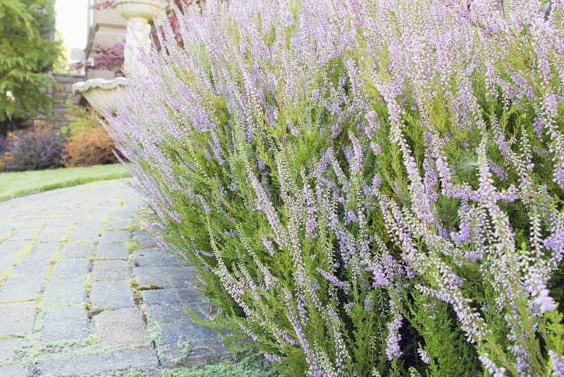 Heidekraut pflanzt Blumen in der Blüten-Nahaufnahme lizenzfreie stockfotografie