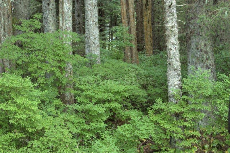 Heidelbeerbüsche stockfoto