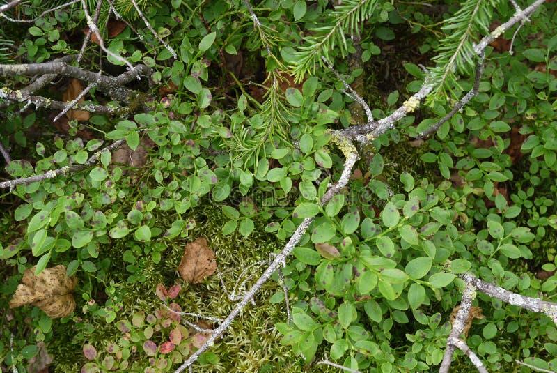 Heidelbeerbüsche lizenzfreie stockfotos