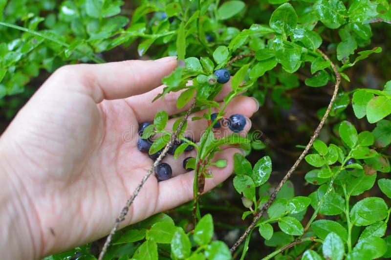 Heidelbeere in einer weiblichen Hand lizenzfreies stockbild
