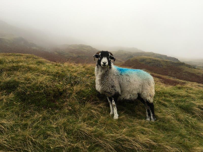 Download Heidemoor-Schafe stockfoto. Bild von schafe, nebel, fells - 96928288