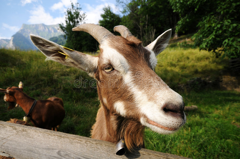 Heidi Goat royalty free stock photography