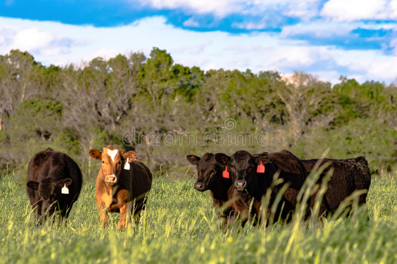 Heifers in rye grass. Heifers in a field of tall lush spring rye grass stock image