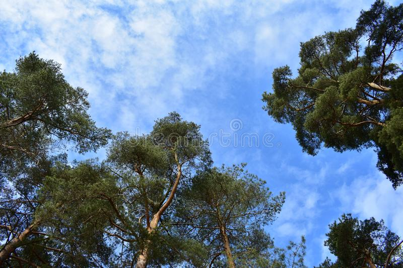 Through the height of the trees the light flashes. Stands shrouded in mystery,coniferous forest. Through the height of the trees the light flashes. And stretch stock photo