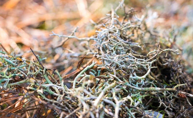Heilendes Moos im Herbstwald stockfoto