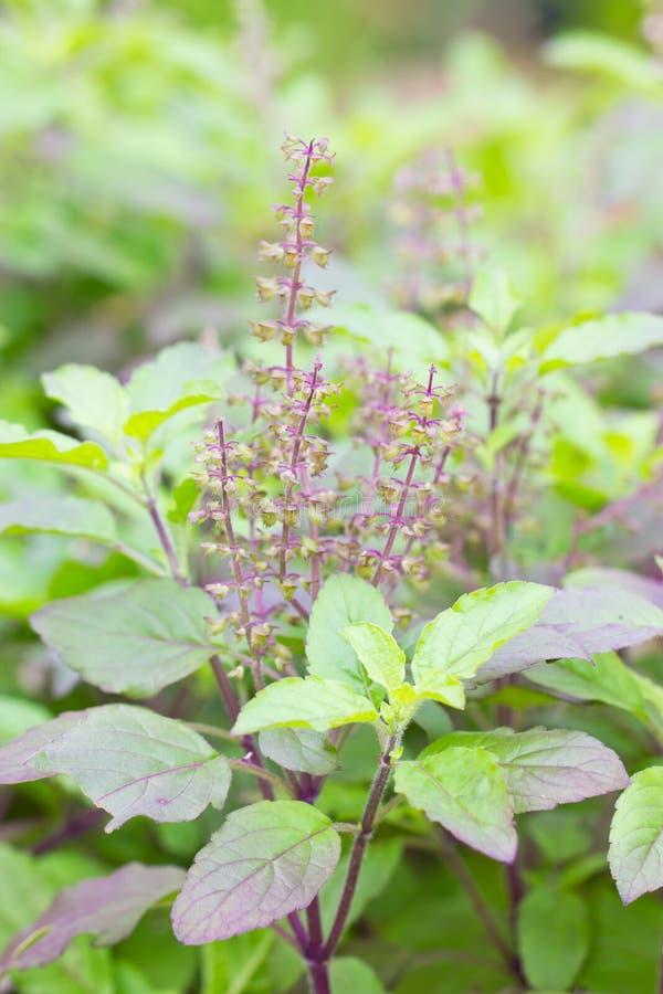 Heilig Basil Plant. royalty-vrije stock afbeeldingen