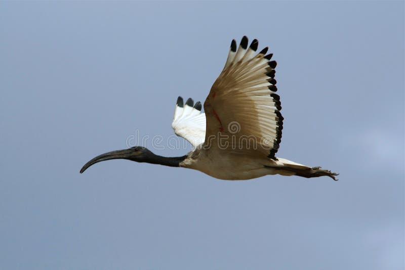 Heilige Ibis stock afbeelding
