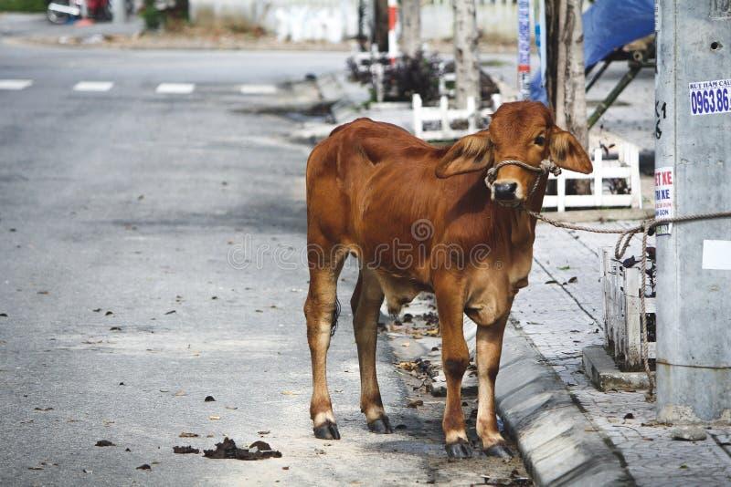 Heilige Koe in Vietnam stock foto