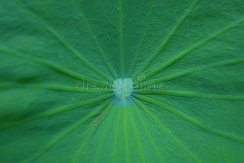 Heilige Lotus Leaf Close Up royalty-vrije stock fotografie