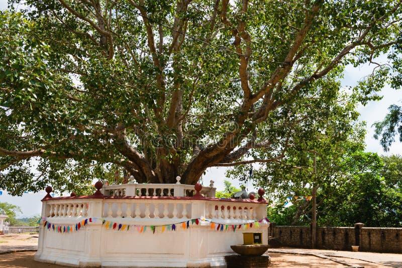 Heilige vijgeboom in een Boeddhistische tempel royalty-vrije stock foto's