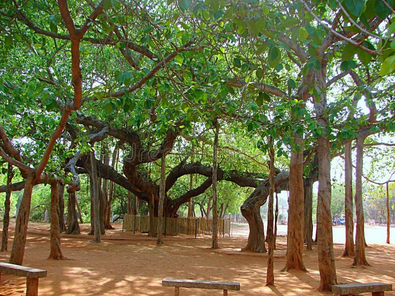 Heiliger Banyanbaum bei Matrimandir, Auroville, Indien stockfotos