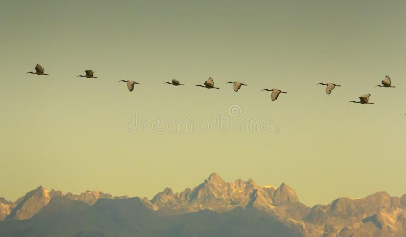 Heiliges IBIS im Flug bei Alp Mountains lizenzfreies stockfoto