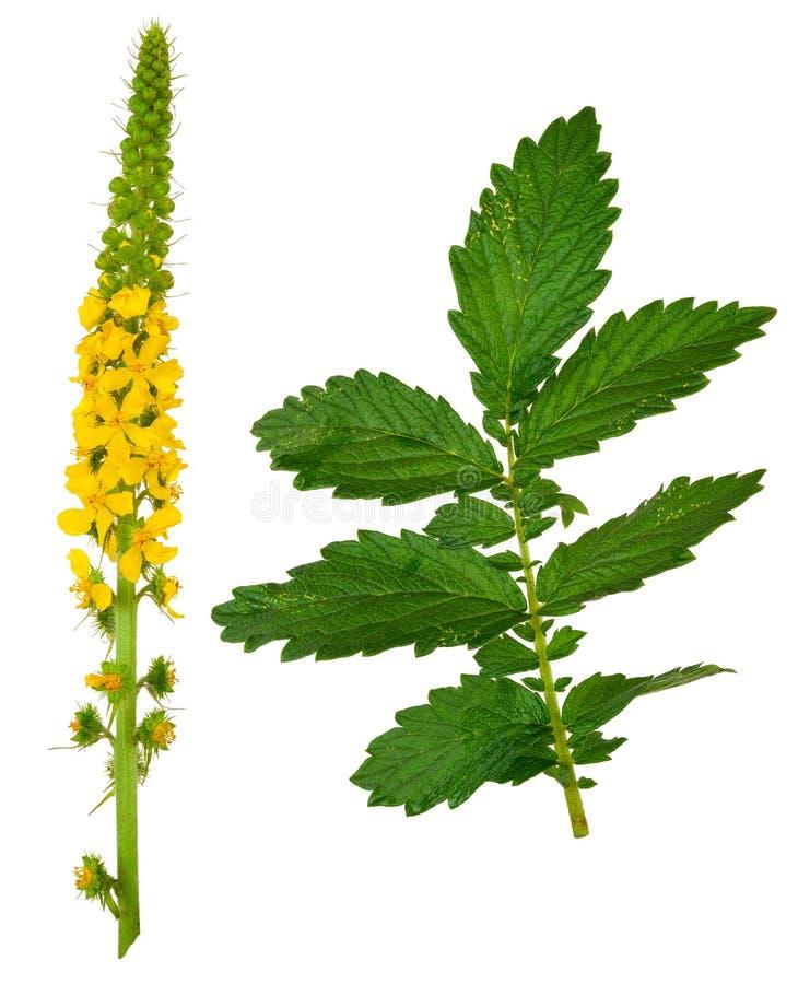 Heilpflanze: Agrimonia eupatoria Gemeiner Agrimony stockbilder