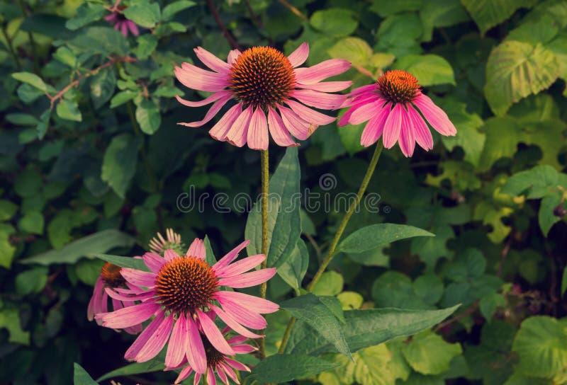 Heilpflanze Echinacea purpurea lizenzfreies stockbild