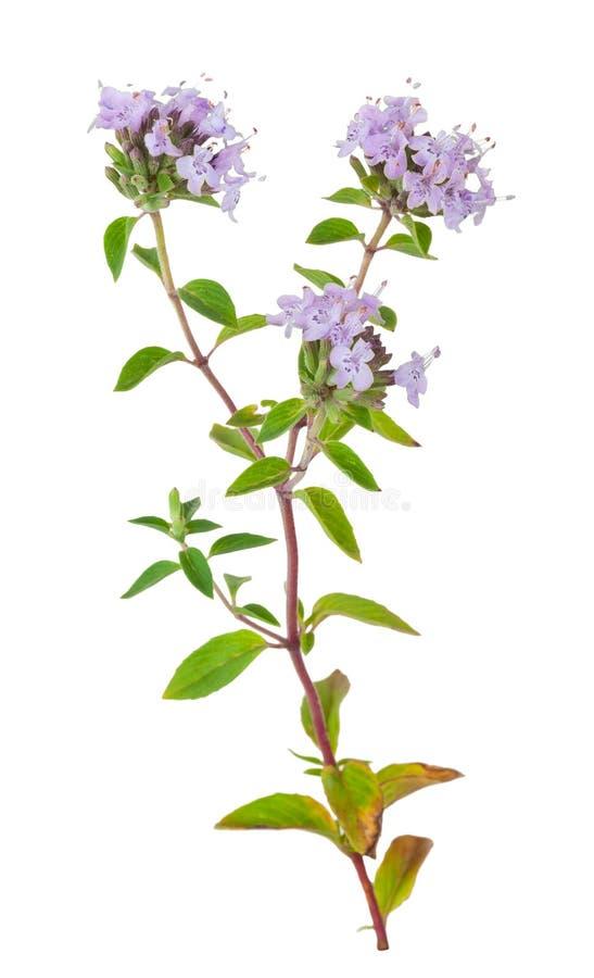 Heilpflanze: Thymian lizenzfreie stockfotos