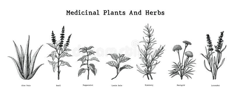 Heilpflanzen und Kräuter übergeben Zeichnungsweinlese-Stich illust vektor abbildung